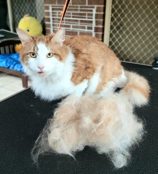 Deshedded Long Haired Domestic Cat