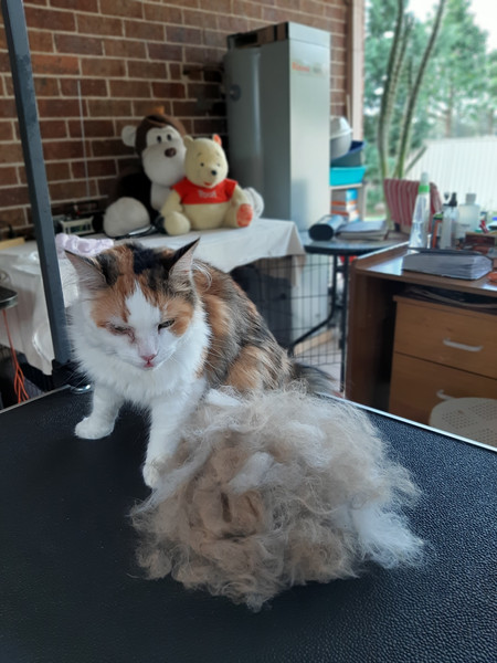 Deshedded Long Hair Domestic Cat