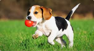 Beagle puppy with red ball in mouth