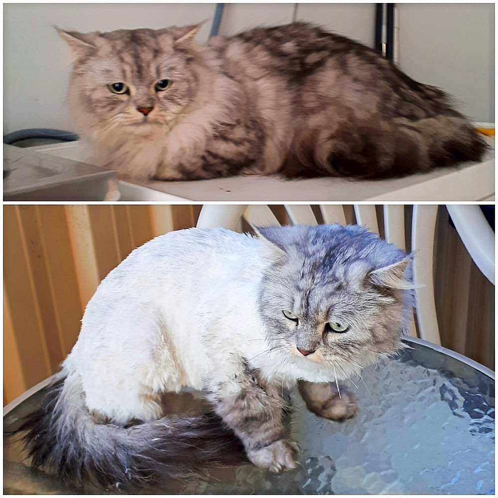 Marble Ragdoll before and after grooming with Lush Pet Care