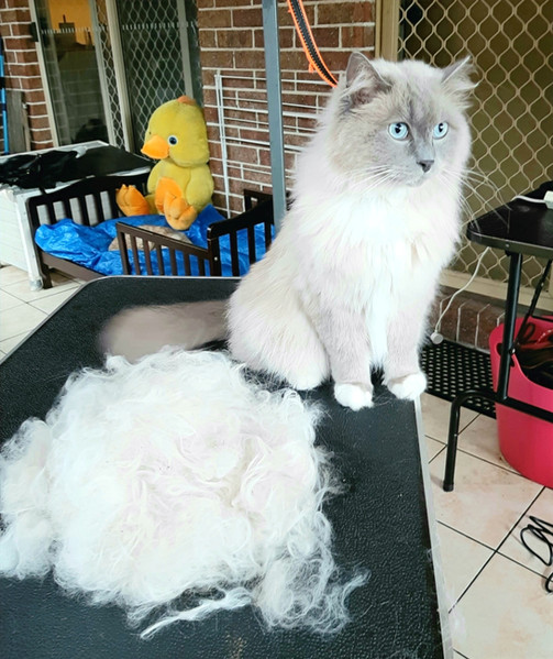 Ragdoll after deshedding