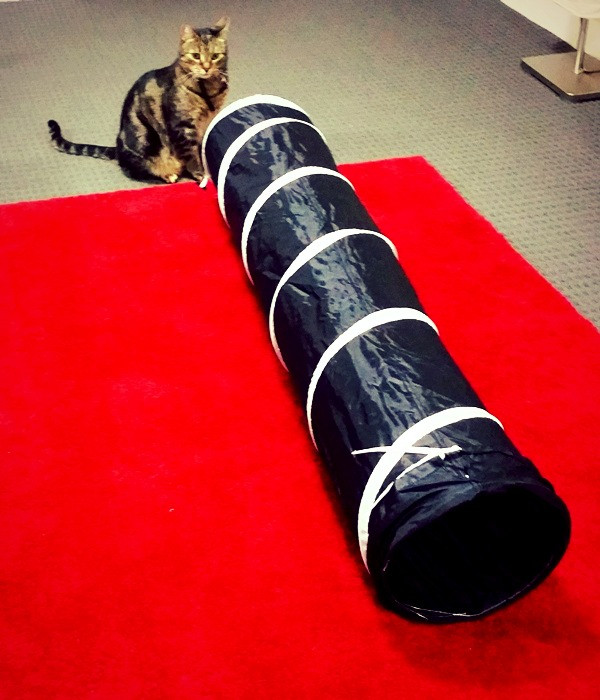 Tabby cat standing in front of a cat tunnel