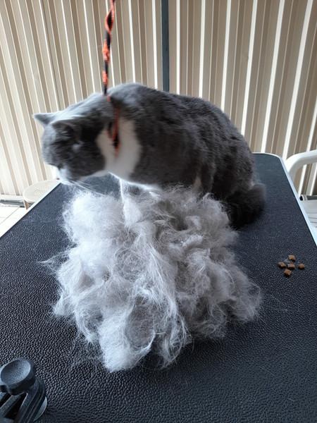 Deshedded British Short Hair Cat