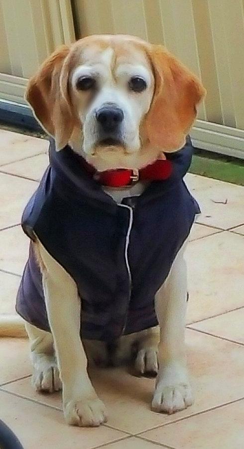 Beagle wearing a dark blue jacket