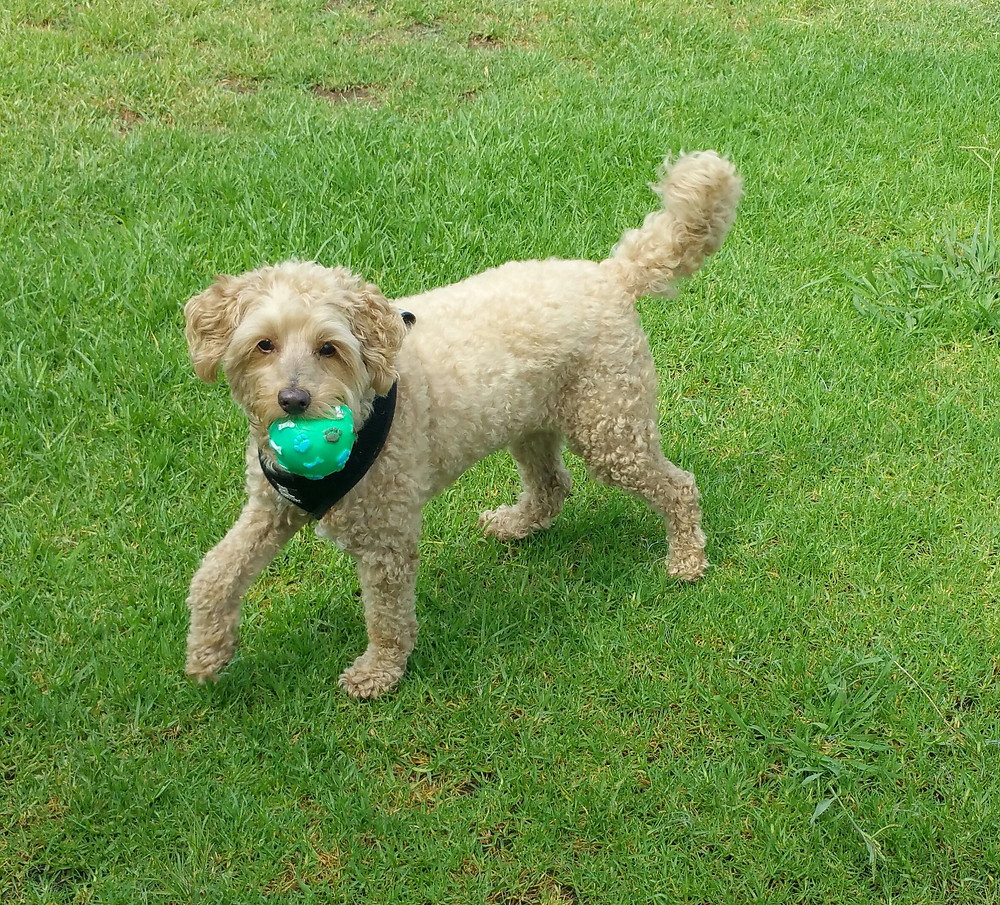 Cavoodle playing ball in the park