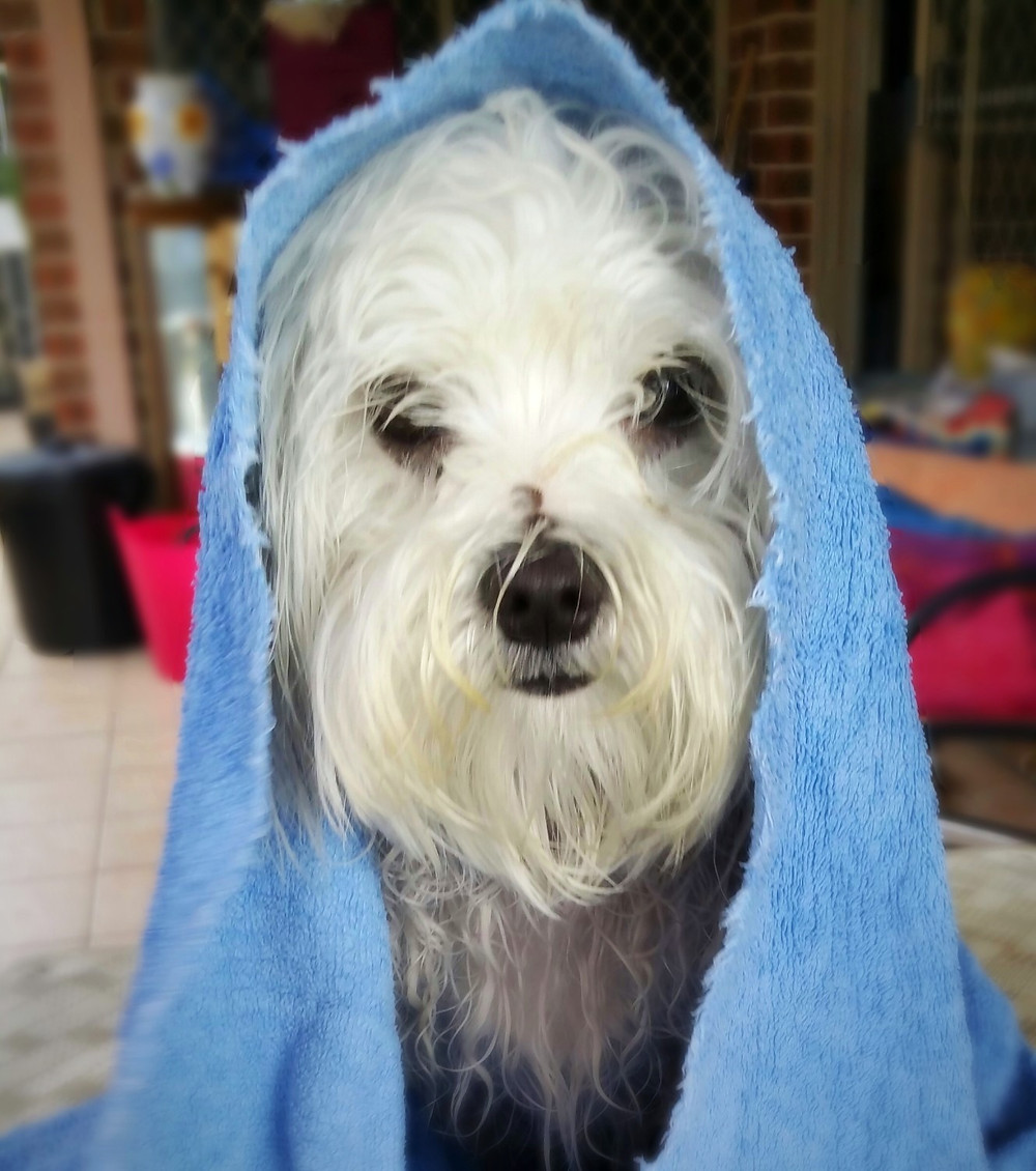 Small white dog wrapped in blue towel after bath