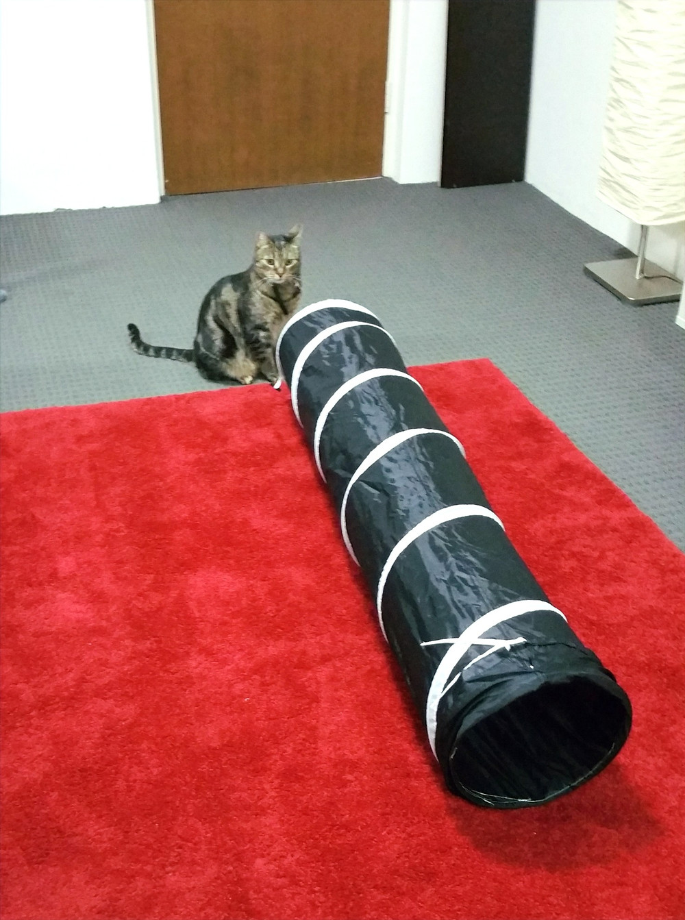 Tabby cat standing in front of cat tunnel