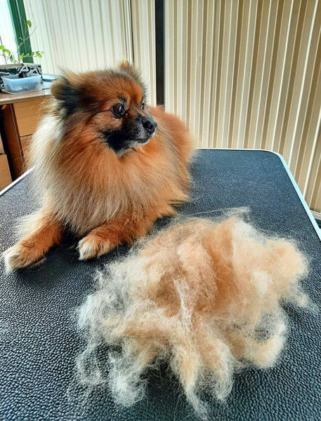 Deshedded Pomeranian