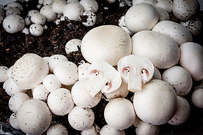 Champima Maroc Mushrooms