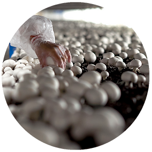 Champima Mushroom Cultivation