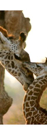 Rocky Simachila Photography- Thornicroft Giraffe and Calf- Nsefu Sector South Luangwa NP- Zambia- 2009.jpg