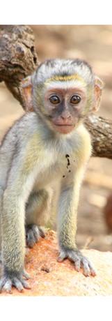 Rocky Simachila Photography- Vervet Monkey Baby- Mvuu Lodge Liwonde NP Malawi- 2013.jpg