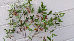 Leatherwood (honey), Eucryphia lucid