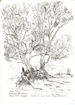 Redgum tree, Barwon River, Walgett