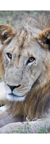 Rocky Simachila Photography- Young Male Lion- South Luangwa NP- Zambia- 2009.jpg