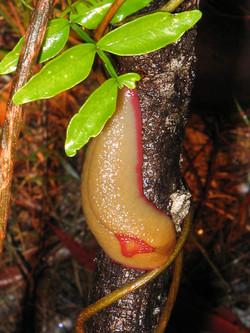 Red Triangle Slug - Springwood NSW