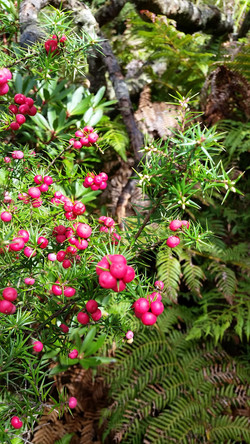 Native Cranberry, Epacris sp