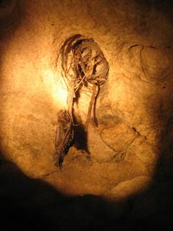Antichinus nest - Lapstone NSW
