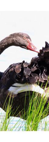 Rocky Simachila Photography- Black Swan Preening- Lake Burley Griffin Canberra Australia- 2015.jpg