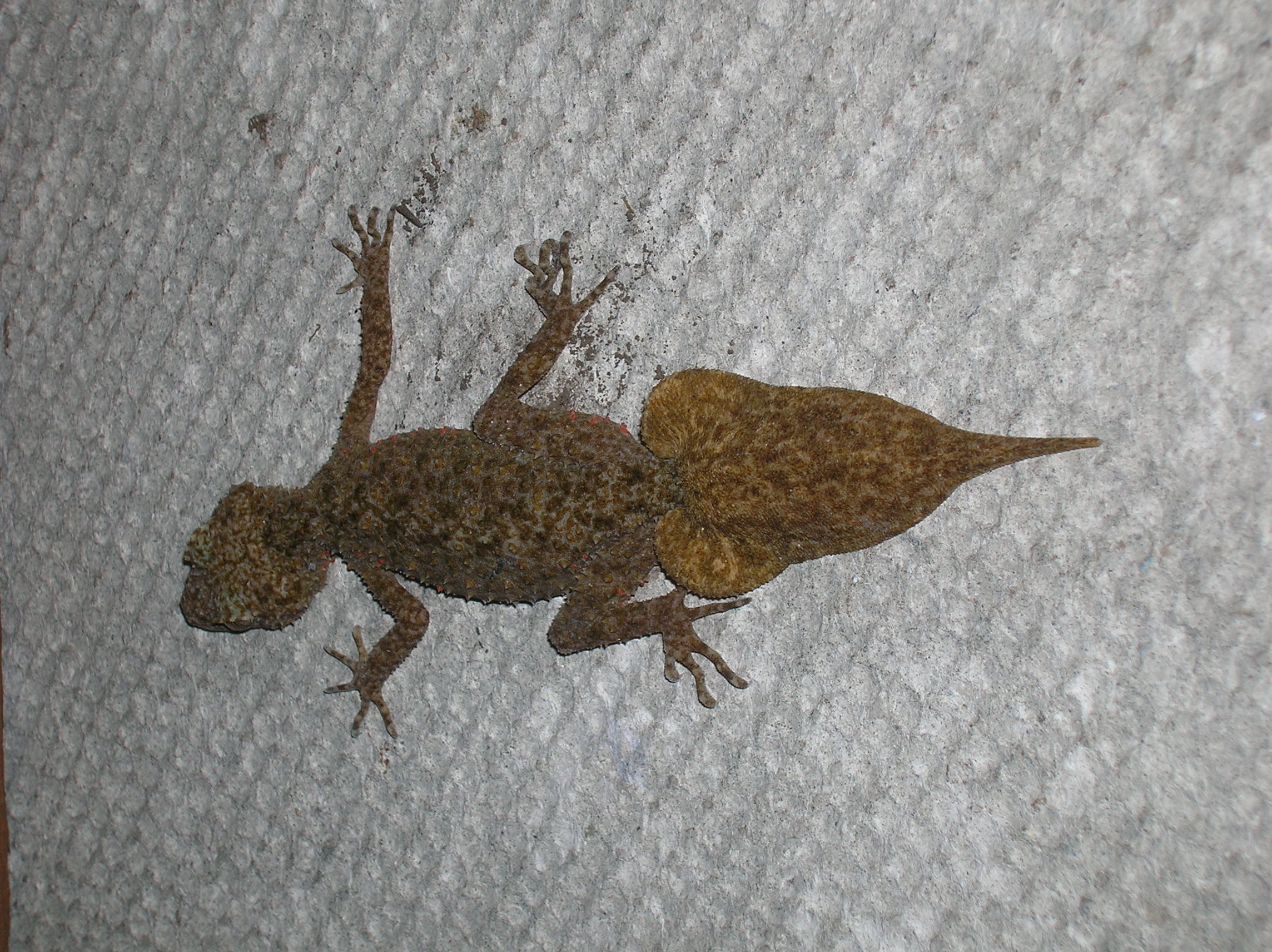 Leaf Tail Gecko - Springwood