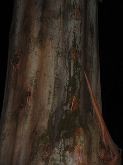 Red Triangle Slug Trails - Bluegum