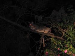 Brushtail Possum - Sun Valley NSW