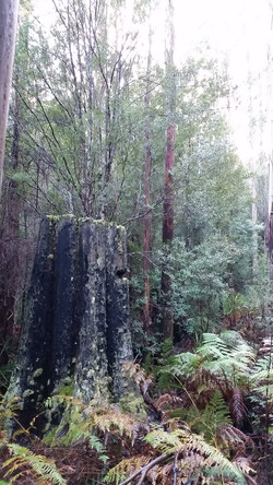 Tarhune forests, Geeveston TAS