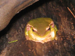 Eastern Dwarf Tree Frog - Springwood