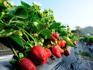 Weather Damages Strawberry Crops