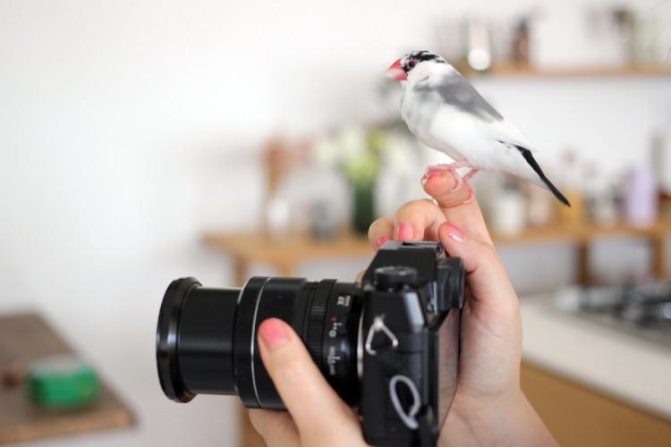 撮影をチェックするベテランのモデル文鳥クイちゃん