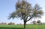 Gier. Unterm Birnbaum