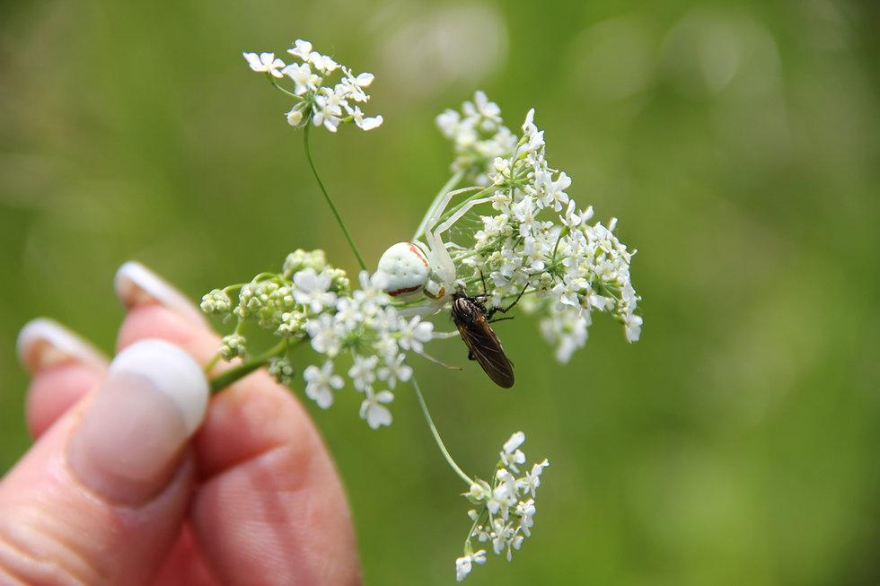 Blütenkrabbenspinne beim fressen_2014_ÖK