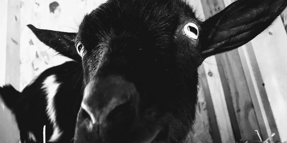 Goat Yoga with Kalli -11AM