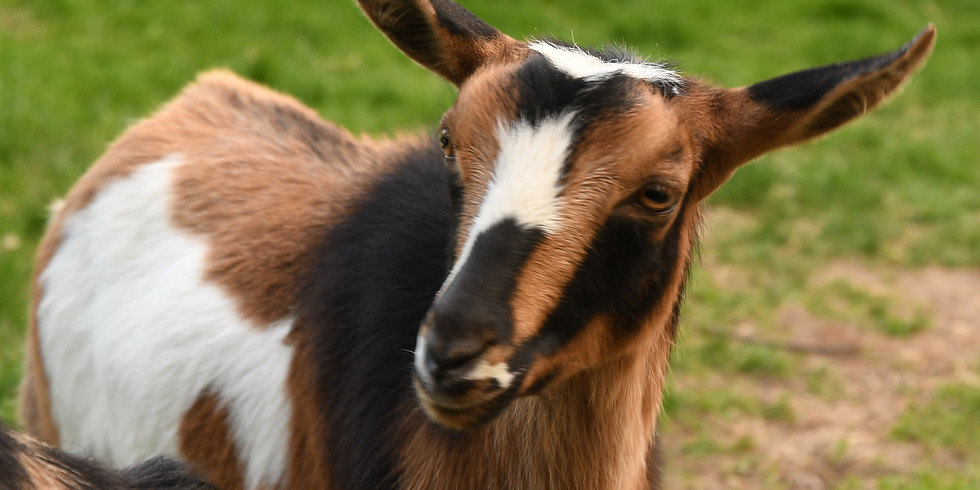 Goat Yoga with Kalli-6:30PM