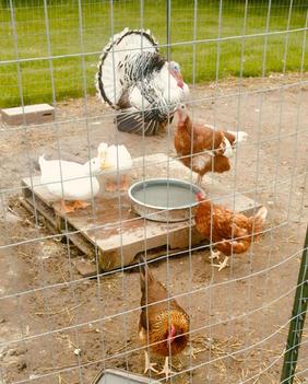The duck_chicken_turkey run_