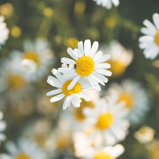 daisy-flower-6_free_stock_photos_picjumb