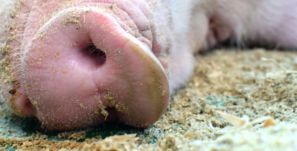 Snoot of a large pig close up. Pig mothe