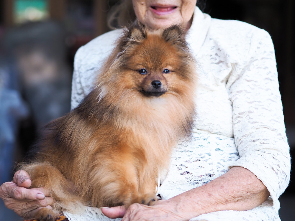 pomeranian dog breeds for seniors