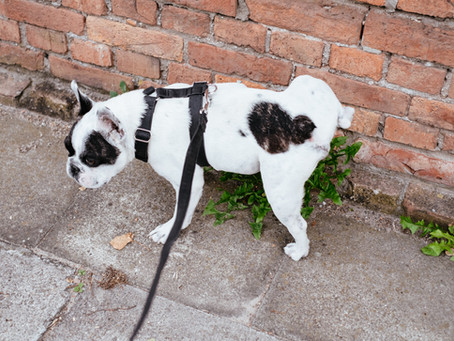 How to Stop Your Dog From Marking Their Territory