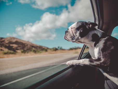 A Dog's Fascination With Car Rides