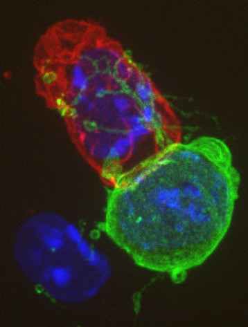 CD4 cell interacting with a target
