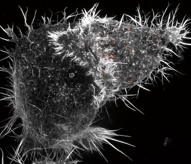 The immunological synapse