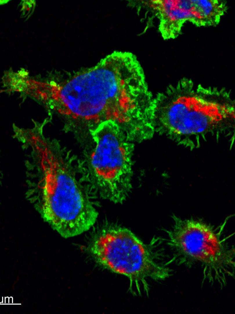 Live Cytotoxic T-Lymphocytes