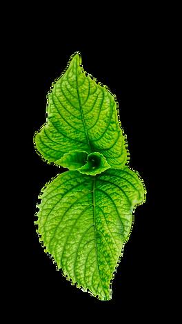 green-leaf-765062_edited.png