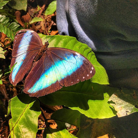 Blue Morpho butterfly at Parign Hak - Manu, Peru