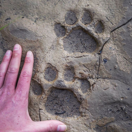 Jaguar tracks seen at Parign Hak