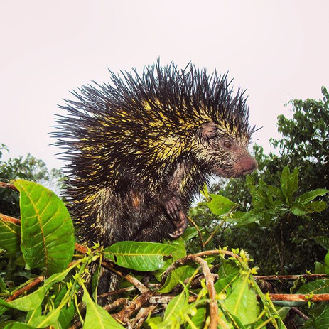 Amazonian porcupine at Parign Hak