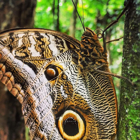 Owl Butterfly at Parign Hak - Manu, Peru