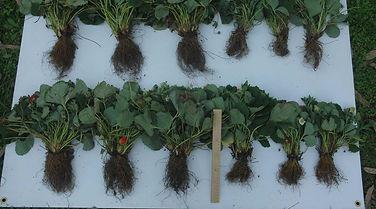 Silicon Fertilisers fertilizer benefits