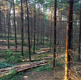 Commercial Thinning - Century Forest Man